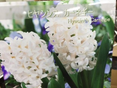 ヒヤシンス1